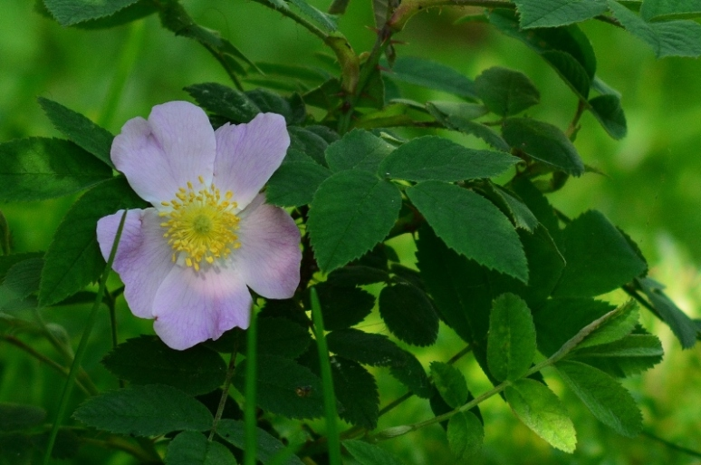 In my garden, Rosa nitida.