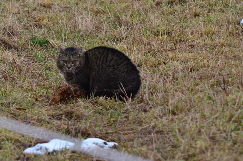This is not Bertil but even I thought it was at first :-) Much bigger though and is one of the two new cats now living in my neighbors cottage.