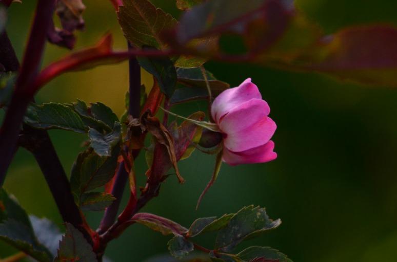 Rosa glauca.